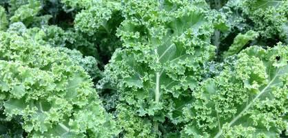 Eine große Aufnahme von einer Grünkohlpflanze.