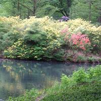Gelbe Rhododendronbüsche am Wasser