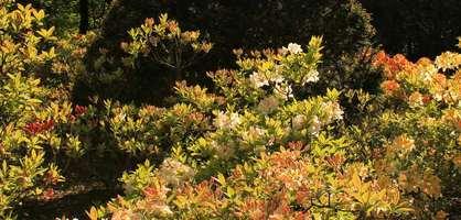 Blühende Rhododendren im Rhododendronpark; Quelle: www.katharazzi.com