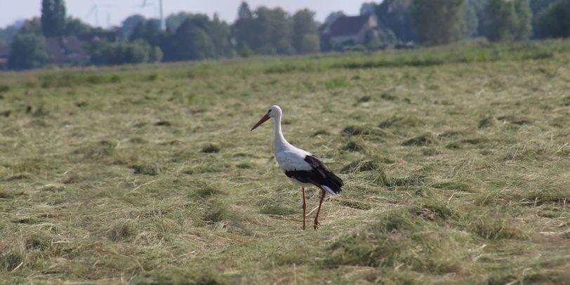 Ein Storch auf einem frisch gemähten Feld; Quelle: I. Brettmann