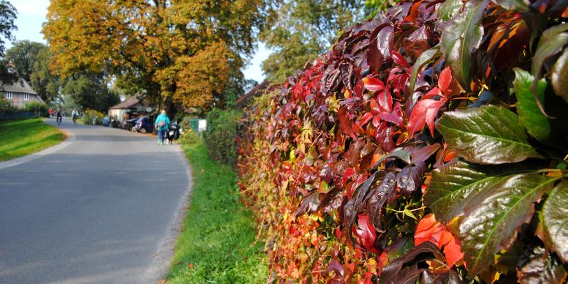 Eine vom Herbst bunt gefärbte Laubhecke