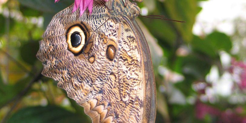 Ein Bananenfalter mit seiner auffälligen Augenzeichen auf der Unterseite seines Flügels.