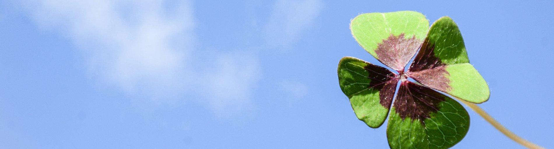 Ein vierblättriges Kleeblatt auf weißem Hintergrund.