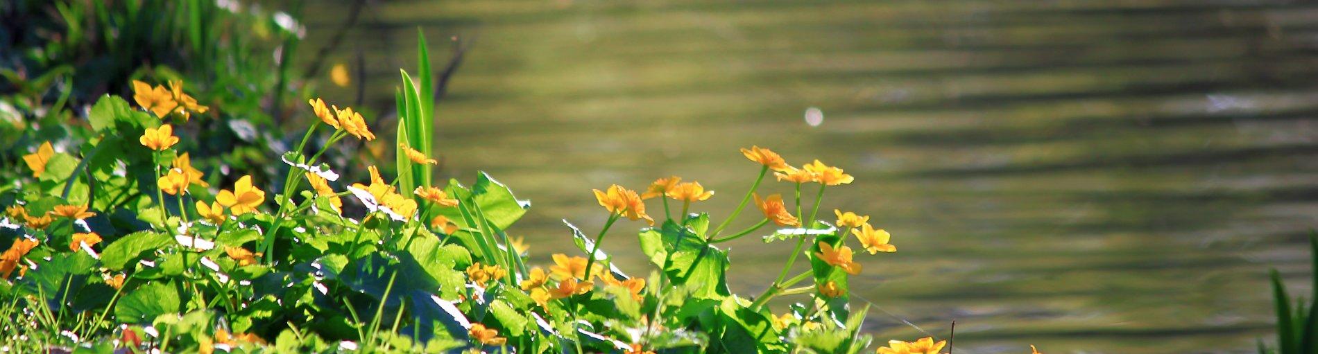 Moorblumen am Wasser