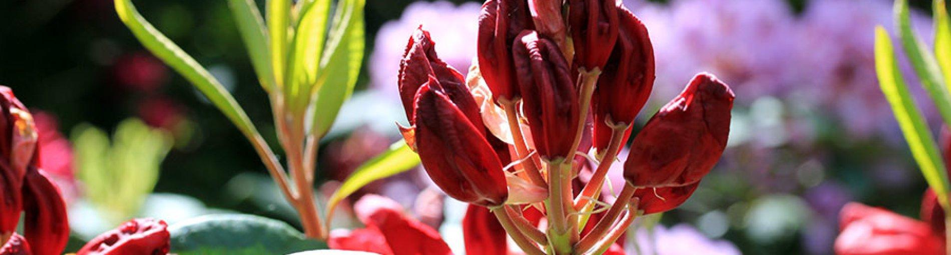 Blüte eines Rhododendron