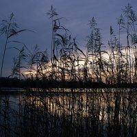 Schilf am Ufer des Unisees
