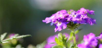 Eine lila Blume im Sonnenschein
