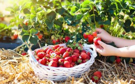 Unter einem Erdbeerstrauch steht eine geflochtene Schale mit Erdbeeren. Eine Kinderhand pflückt eine weitere Erdbeere.