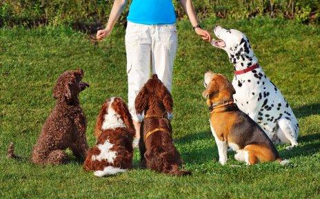 Fünf Hunde sitzen vor einer Person. Die Person bringt den Hunden einen Trick bei.