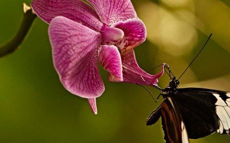 Ein Schmetterling an einer pinken Orchidee.