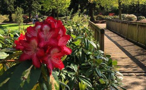 Im Vordergrund die Blüte eines Rhododendrons, im Hintergrund der Rhododendronpark.