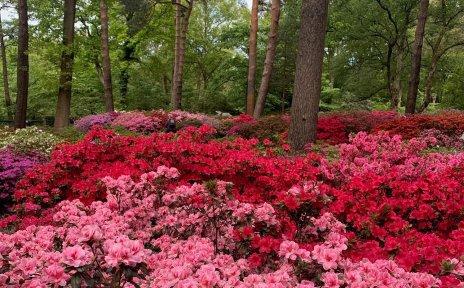 Ganz viele rote Rhododendronblüten im Rhododendronpark.