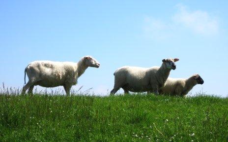 Drei Schafe auf dem Deich.