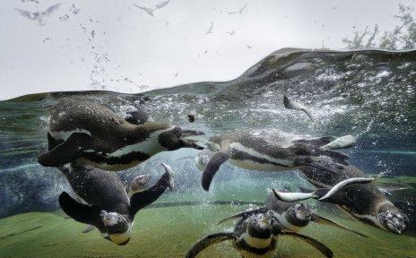 Zu sehen sind sechs Pinguine, die unter Wasser schwimmen. Am Himmel fliegen Möwen.