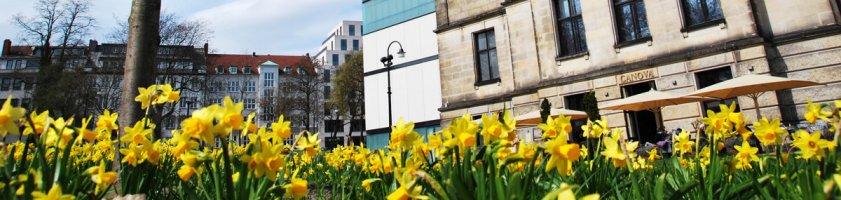 Blühende Osterglocken im Vordergrund, im Hintergrund das Gebäude der Kunsthalle