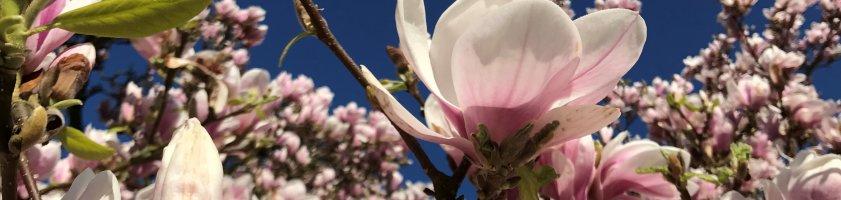 Magnolienblühten vor blauem Himmel