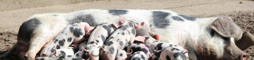 Schweinchen beim Frühstück