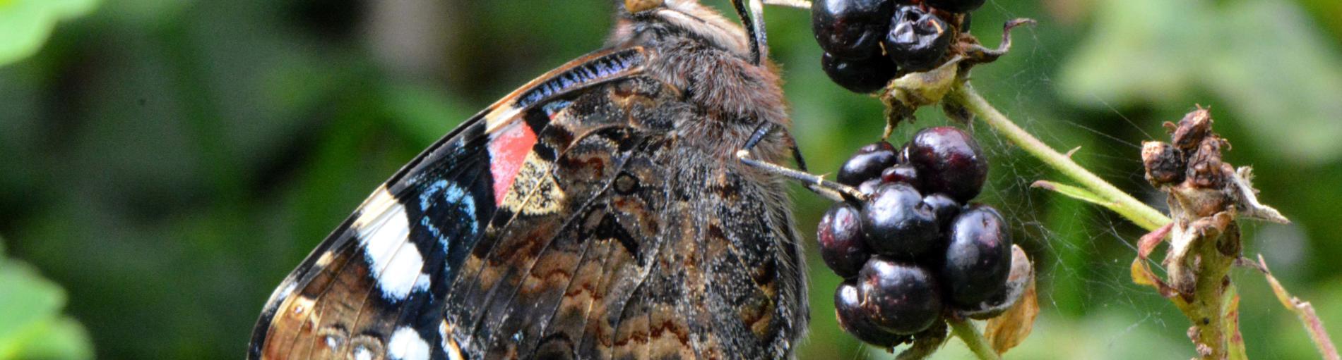 Immer weniger Schmetterlinge – eine Folge des Klimawandels?