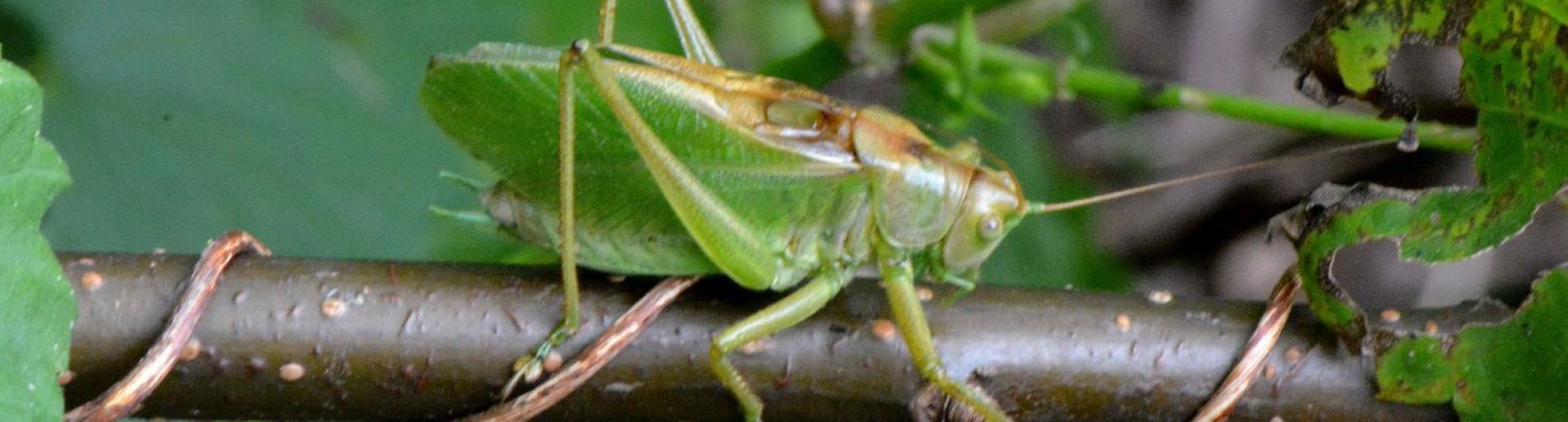 Weitsprung-Virtuosen, Teufelsnadeln, Drachenfliegen und andere Monster: Sommer in der Ökologiestation