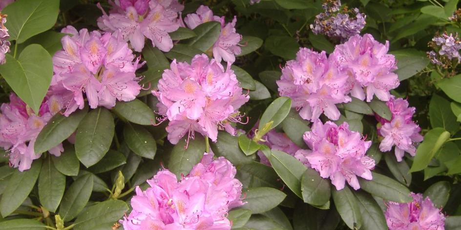 Paradebeispiel für die Artenvielfalt: die Gattung Rhododendron auf vier Kontinenten