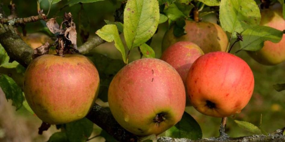 Spiele rund um den Apfel