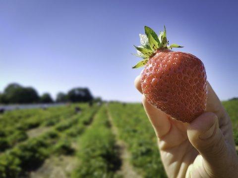 Man sieht das Erdbeerfeld des Erdbeerhof Nüstedt.