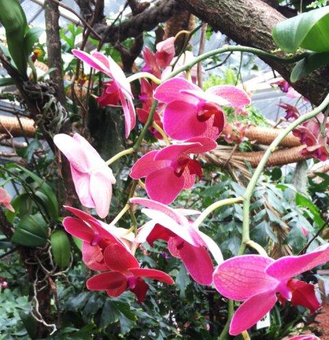 Pinke Blüten einer Orchidee, grüne Blätter und Äste