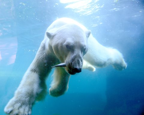 Ein Eisbär unter Wasser mit einem Fisch im Maul.