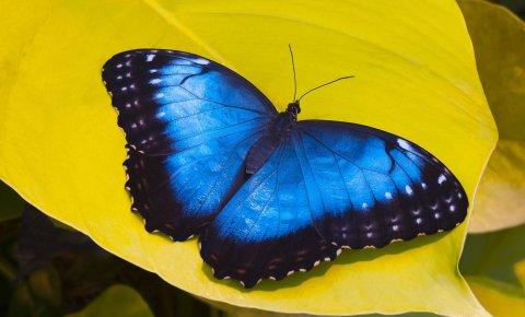 Ein blauer Schmetterling auf einer gelben Blüte.