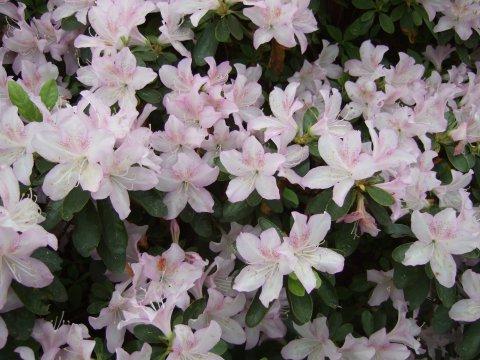 Zartrosa Rhododendronblüten