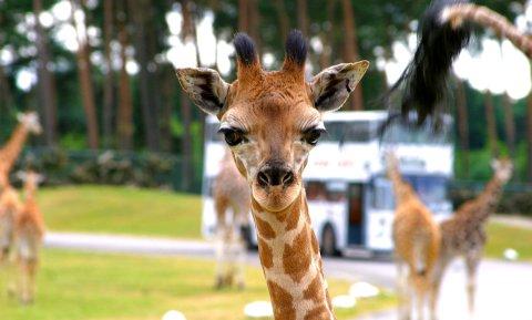 Nahaufnahme einer Giraffe im Serengeti-Park