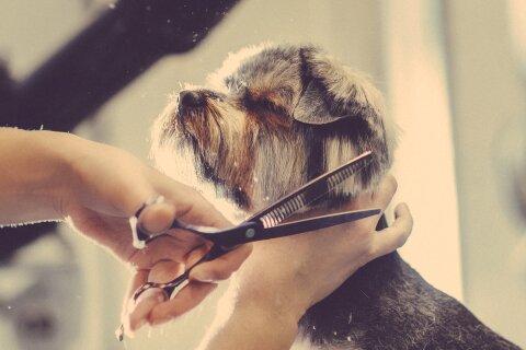 Ein Hund mit grau-braunem Fell hat die Augen zu und hebt den Kopf an. Er bekommt gerade das Fell geschnitten.