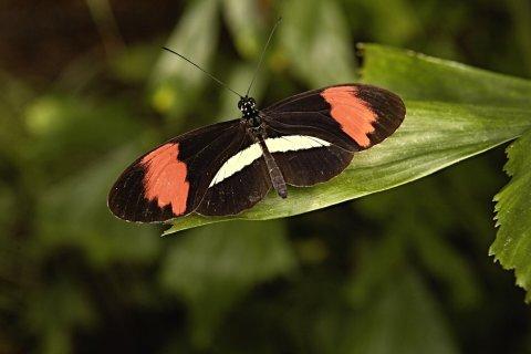 Ein schwarzer Schmetterling mit rot-weißen Flecken auf einem Blatt