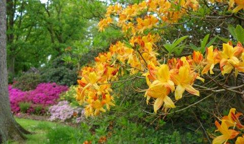 Hauptblüte im Rhododendronpark Bremen