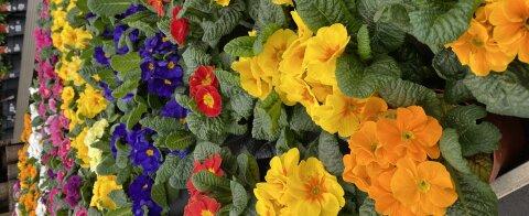 Auf einem Regal stehen orangene, blaue, gelbe und rot blühende Pflanzen.