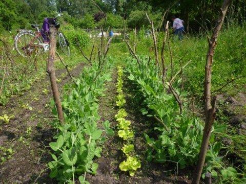Gemüsebeet mit Salatpflanzen; Quelle: Seniorenlotse
