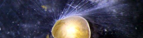 Eine Nahaufnahme der Foraminifere