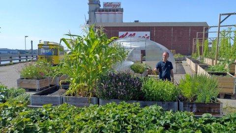 Reichlich bewachsene Hochbeete der Gemüsewerft auf der Überseeinsel werden von einem Mann gepflegt.