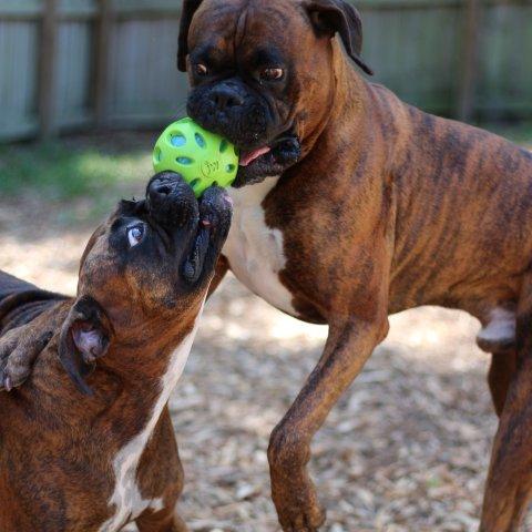 Zwei Boxer mit braunem Fell spielen miteinander.