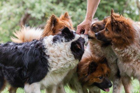 Fünf Hunde schnüffeln an einem Leckerli.