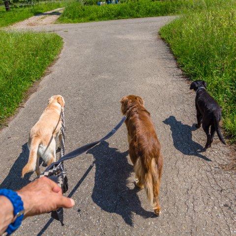 Ein Mann geht mit drei Hunden Gassi.