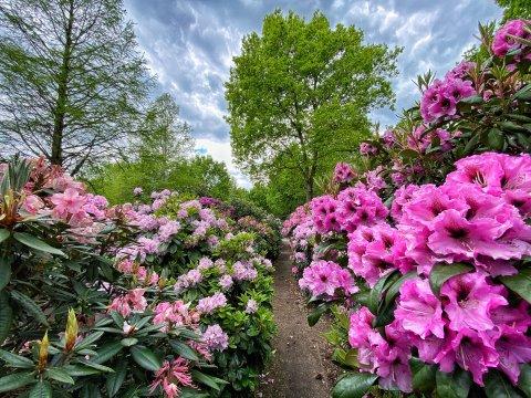 Üppig blühende Rhododendren links und rechts von einem schmalen Weg im Rhododendronpark.