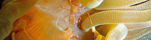 Partnergarnele auf einer Seeanemone