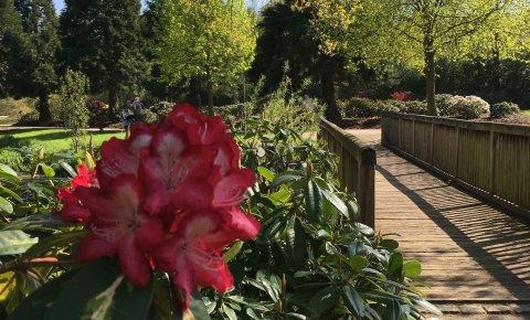 Im Vordergrund die Blüte eines Rhododendron, im Hintergrund eine Brücke und Blick auf die Parklandschaft.