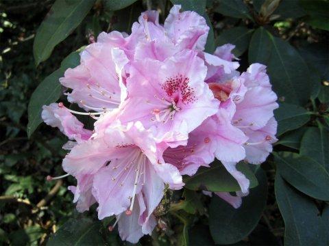 Rosa Rhododendronblüte