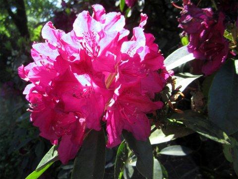 Pinke Rhododendronblüte