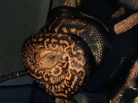Eine hellbraun-schwarze Schlange, die zusammengerollt auf Ästen liegt
