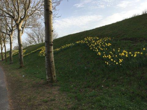 Rechts im Bild ist ein grüner Deich zu sehen, auf dem gelbe Osterglocken blühen. Sie wurden in Form einer Welle eingepflanzt. Vor dem Deich stehen Bäume. Links im Bild ist noch ein Stück Weg zu sehen.
