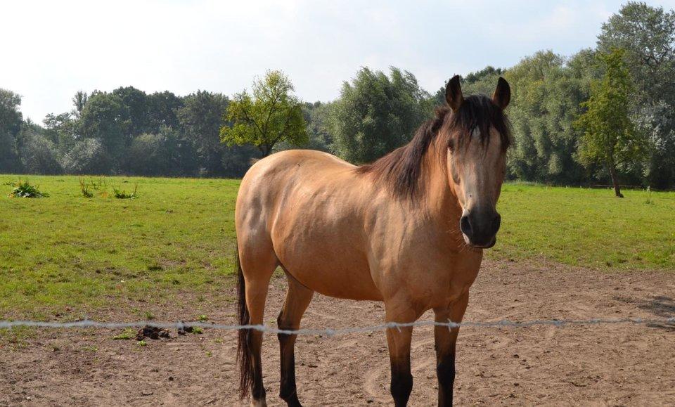 Ein hellbraunes Pferd auf einer grünen Wiese.