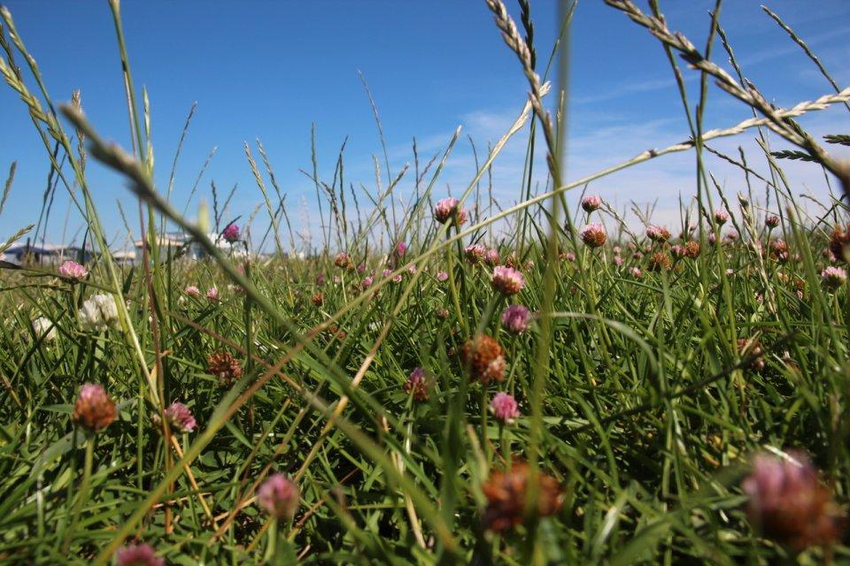 Blauer Himmel und eine Wiese mit grünen Gräser und pinken Blumen